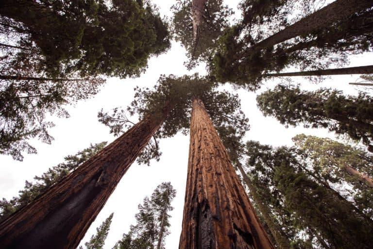 Relating to the Giant Sequoias